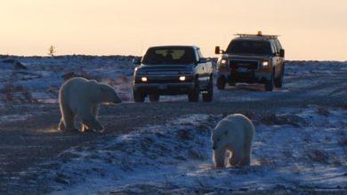 Wilde Eisbären überqueren eine Straße bei Churchill.