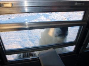 Ein Eisbär untersucht das Fenster unseres Tourbusses.