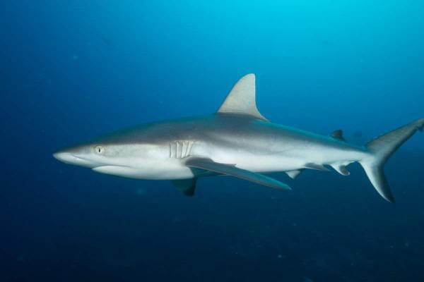 Haie wie dieser grauer Riffhai sind in Palau keine Seltenheit. Foto: Simon Hefti.