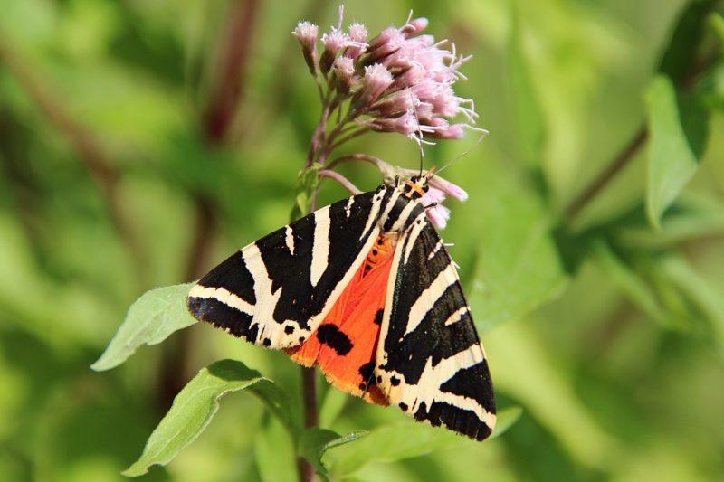 Der Russische Bär ist ein Schmetterlinge, der im Tal der Schnetterlinge überall zu finden ist. Foto: Jean-Pol Grandmot / Wikimedia