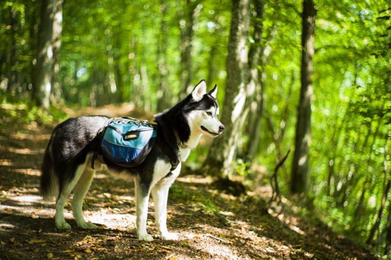 Treuer Begleiter: Der Husky Aiko war auf der Reise immer dabei.
