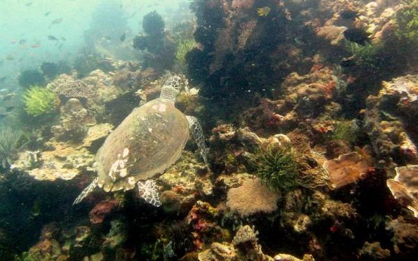 Riesenschildkröte: Die Unterwasserwelt vor Sekotong.