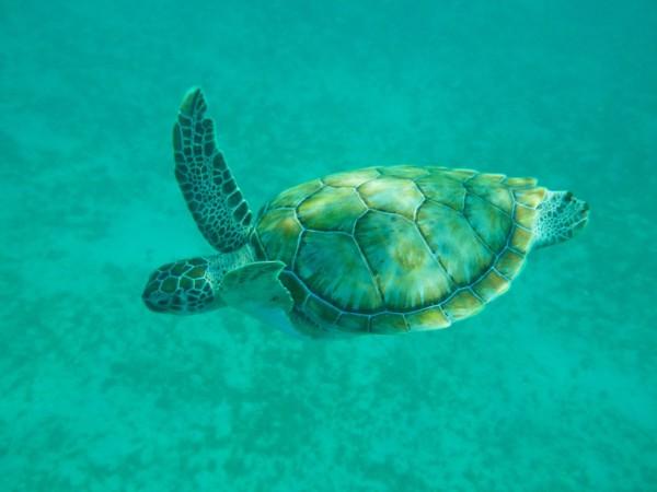 Begegnung beim Schnorcheln: Wasserschildkröte vor der Küste von Barbados. Foto: M. Luft.