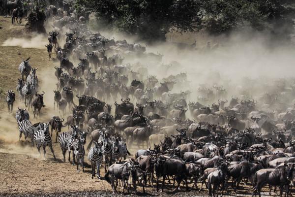 Die jährliche Wanderung der Zebras in der Massai Mara in Kenia. Foto: W. Dolder