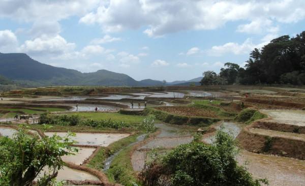 Die Wanderung führt an wundervollen Reisfeldern vorbei.