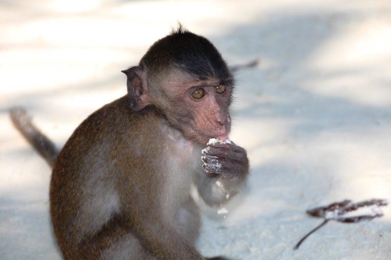 Besonders niedlich: Die Affenfamilien, die sich auf Koh Phi Phi beobachten lassen.