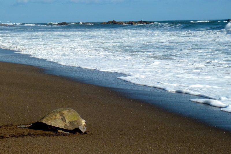 Umweltprojekte, wie beispielsweise der Schutz von Schildkröteneiern, bieten Freiwilligen interessante Möglichkeiten. Foto: Robert Bichler.