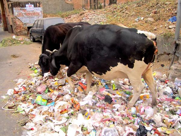 Überall Müll: Kühe ernähren sich vom Abfall.
