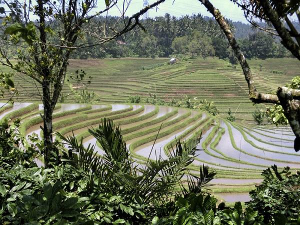 Reisfelder bei Ubud: So stellen sich die meisten Besucher das idylische Bali vor. Foto: S. Kühn