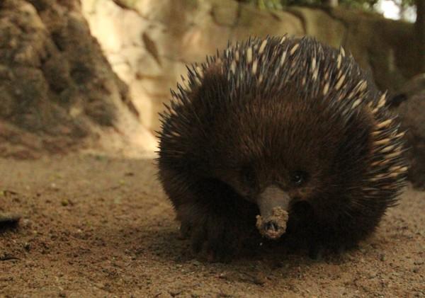 Australien ist für seine Tierwelt bekannt. Im Bild ein Echidnas.