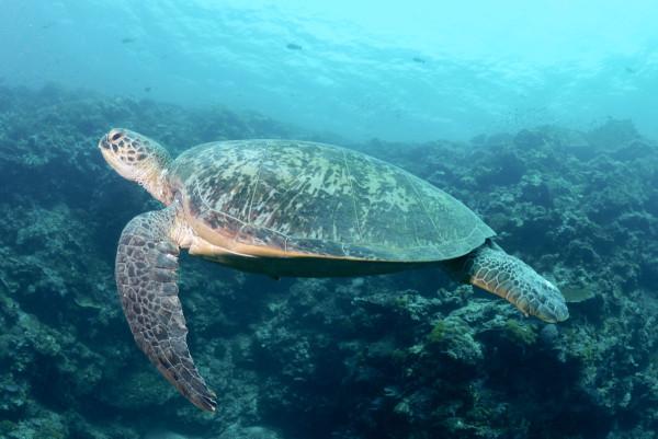 Schimmen mit riesigen Wasserschildkröten. Foto: M. Tschuy
