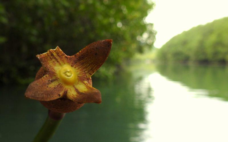 ...und so sieht eine Mangrove aus der Nähe aus.