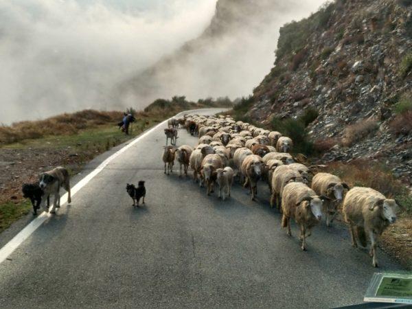 Schafe auf einer Nebenstrasse.