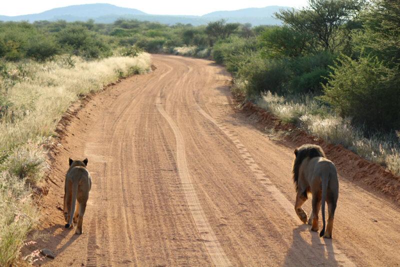 Löwenpaar im privaten Wildreservat Erindi.