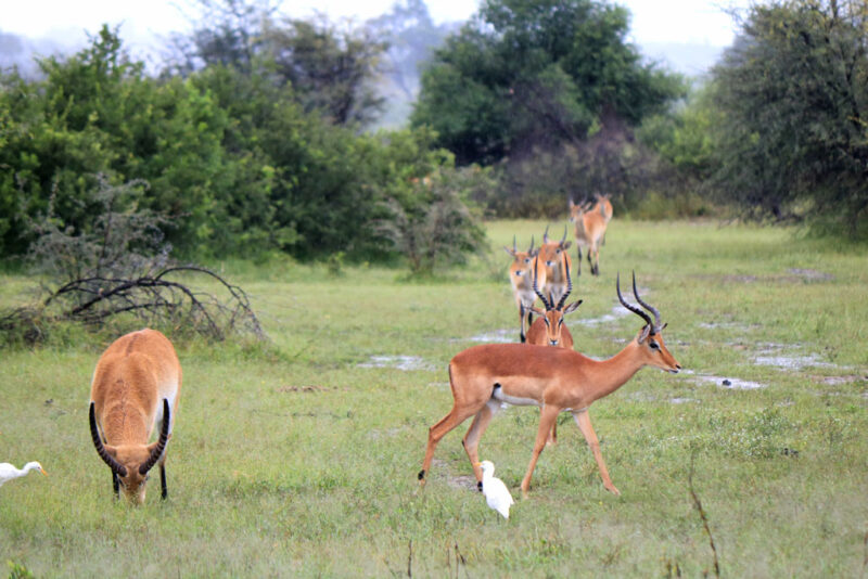 Impalas und ein Waterbock im Mahango Nationalpark.